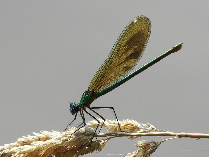 motýlice samička
